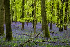 IMG_7882.jpg (ChodHound) Tags: ashridgeestate bluebells