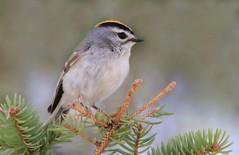 Roitelet à couronne dorée (Marie-Helene Levesque) Tags: oiseau abitibi valdor roitelet roiteletàcouronnedorée mariehélène mariehelene