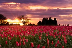 Tulip Field Sunset 6836 B (jim.choate59) Tags: jchoate on1pics tulip field sunset flower woodenshoetulipfarm tulipfarm farm spring oregon landscape d610 willamettevalley