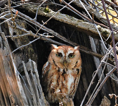 Whooooo had to much coffee? (picturesinmylife_yls) Tags: screech owl nature eyes tree