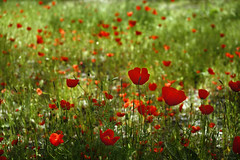 Happy Field ($ALEH) Tags: poppy poppies flower nature iran mashhad khorasan مشهد خراسان طبیعت ایران شقایق