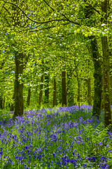 Bluebell Wood (JKmedia) Tags: spring may 2018 cornwall lanhydrock nationaltrust boultonphotography bluebells blue green sunny warm
