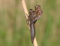 Hairy dragonfly emergence (Roger H3) Tags: insect dragonfly odonata hairy hawker