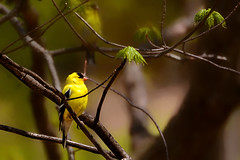 The Sound of Yellow (Goromo) Tags: goldfinch finch spring chatter yellow bright bird woods tree