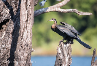 The African darter, or