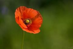 ナガミヒナゲシ Long-headed poppy (takapata) Tags: sony sel90m28g ilce7m2 macro nature flower