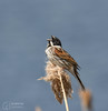 Reed Bunting Calling (mikedenton19) Tags: reed bunting reedbunting male emberiza schoeniclus emberizaschoeniclus bird wildlife staidans nature reserve naturereserve rspb aire valley airevalley swillington swillingtonings westyorkshire