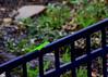 Riding the Rail (austexican718) Tags: anole texas native fauna centraltexas hillcountry wildlife animal reptile garden green fence canon eos70d ef70300mm456isusm nature