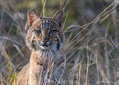 Florida #Bobcat (DonMiller_ToGo) Tags: bobcat millerville nature onawalk kitty d5500 wildlife outdoors florida