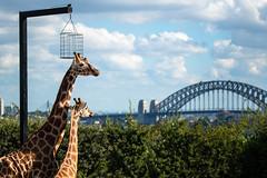 Kitoto and Jamiyu (Corey Hamilton) Tags: giraffe taronga zoo sydney animal