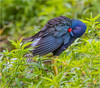 Purple Gallinule ( Preening ) (billkominsky ) Tags: naturethroughthelens coth5