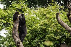 On top (Anja Anlauf) Tags: bär brilenbär jungtier tier säugetier natur huanca