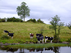 DSCF2226 Cows at the shore (minminatmidnight) Tags: fujifilmfinepixs100fs lougherne upper lower fermanagh northernireland ireland irland nordirland river fluss see lake water wasser boat boot hausboot boatholidays bootsurlaub houseboat inverduke aghinver abcboats landschaft landscape outdoor outdoors trip boattrip natur nature erne rivererne erneriver boatcruise lowerlougherne inishmacsaint insel island jetty anleger morning morgen früh early animals tiere cows kühe meadow wiese weide uferweide uferwiese shore ufer