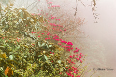 Foggy Bloom (abhishek.verma55) Tags: goechala goechalatrek travel travelphotography landscape flower bloom blossom rhododendron forest khangchendzonganationalpark foggy cloudy red trees landscapephotography high tshoka trek trekking nature ©abhishekverma flickr photography travelphotos travelphoto colourful clouds beautiful beautifulnature sikkim incredibleindia india indiaexplore indiatravel hike westsikkim outdoor outdoors wanderlust canon550d colour cold evening exploreindia explosionofcolors greens greenery green jungle explosionofcolours eveninglight fog himalaya hills landscapelovers landscapelover mountain mountains mountainside naturephotography plant scenery scenic tree view vibrant vivid