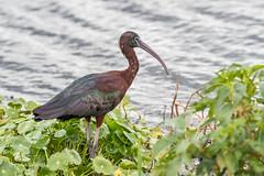 Glossy Ibis 500_6267.jpg (Mobile Lynn) Tags: glossyibis birds nature ibis bird ciconiiformes coast fauna marsh wading wildlife coastal wetland apopka florida unitedstates us