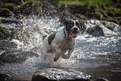Buddy Does Water! (Richard__Fulcher) Tags: springer spaniel dog action excitement splashing water waterdroplets movement jumping bounding flying chasing
