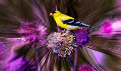 The Feasting Goldfinch (garywitte845) Tags: goldfinch bird noddingthistle texture nature plant use stunning colors