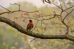 Spring - Better late than never ! (Caroline.32) Tags: spring signofthetimes flickrfriday robin 55300mmlens nikon d7100