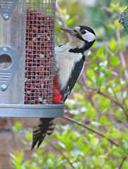 In Our Garden! ('cosmicgirl1960' NEW CANON CAMERA) Tags: birds garden peanuts feeder woodpecker greaterspotted nature wildlife devon yabbadabbadoo