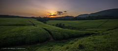 Sunset at Ankole Tea Plantation, Uganda, June 2017 (Catherine Gidzinska and Simon Gidzinski) Tags: 2017 africa uganda sunset panorama teaplantation tea hills ngc 7dwf green