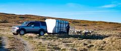 Let Them Loose (falkirkbairn) Tags: sheep sandwick shetland