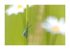 Les petites betes de l'aqueduc-1534125A1534 (helenea-78) Tags: macro nature papillons insectes