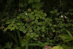 XX20180523a2110Bias-1.7 stops.jpg (rachelgreenbelt) Tags: corylopsispauciflorabuttercupwinterhazel ordersaxifragales eudicots familyhamamelidaceae corylopsisgenus hamamelidaceae hamamelidaceaefamily magnoliophyta floweringplants saxifragales saxifragalesorder spermatophytes witchhazelfamily ghigreenbelthomesinc greenbelt northamerica midatlanticregion ouryard americas maryland usa