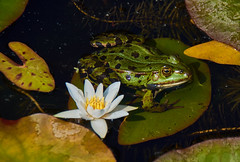 Frog paradise (flowerikka) Tags: animal fauna green frog leaves pond teich water waterlily frosch