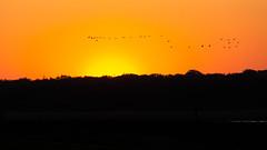 Gänseflug im Sonnenaufgang (jmwill2005) Tags: gänse nonnengänse sonnenaufgang zingst nationalpark vorpommersche boddenlandschaft ostsee mecklenburgvormpommern