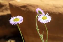 Desert Daisies (pbandy) Tags: flowers plants sedona spring wildlife nature arizona desert