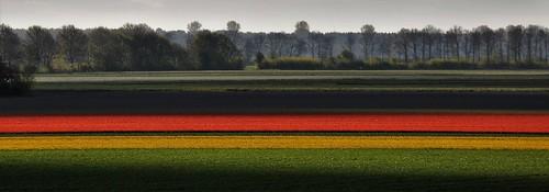 Lelystad and Tulips