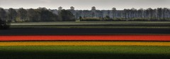 Lelystad and Tulips