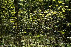 Maple Saplings Caught in the Sunlight (jon_spalding) Tags: maple saplings sunbeam sunlight leaves backlit highlights bokeh woodlands trees spring