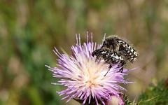 Oxythyrea funesta (J Carrasco (mundele)) Tags: valdemoro cdemadrid insectos coleoptera scarabaeoidea cetoniidae oxythyrea
