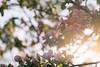 Quince in spring light (Bereczki Zoltán László) Tags: nature flow flower flowers spring colors light nikon nikond810 tokina tokina100mmf28 beauty blossoms blooming macro