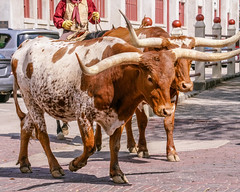 FortWorth_146 (allen ramlow) Tags: fort worth texas longhorn cattle parade city urban cowboy sony a6500