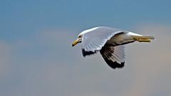 Ring Billed Gull (Bob's Digital Eye) Tags: birdsinflight bobsdigitaleye canon canonefs55250mmf456isstm fauna flicker flickr ringbilledgull t3i wildbirds wildlife