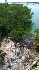 Water slips through the fingers of the mangroves (Kaemattson) Tags: florida keys fl sugarloaf saddleback mangrove hwy 1 atlantic ocean gulf mexico limestone sea grass saltwater salt water tide key west stock island gulfofmexico atlanticocean bayofflorida everglades keywest southernmost