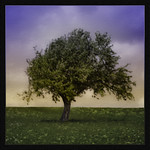 Greenfields Tree thumbnail