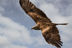 beauty of flight (jeff.white18) Tags: kite bird flight fly feathers wings nature nikon sky blue flickr