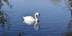 Serenity on the lake (MJ Harbey) Tags: water lake trees ripples reflection bird swan muteswan cygnusolor willenlake miltonkeynes buckinghamshire nikon d3300 nikond3300 serene