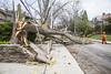 Felled tree on High Park Gardens, May 4 2018 windstorm (jer1961) Tags: toronto downedtree felledtree wind windstorm torontowindstorm highpark