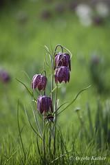 Schachbrettblumen (AnKa Kiel) Tags: 2018 april neuerbotanischergartenkiel schachbrettblumen hummel fritillariameleagris