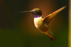 "Purple-throatedWoodstar_01 (DonBantumPhotography.com) Tags: wildlife nature birds animals hummingbirds purplethroatedwoodstar ""donbantumphotographycom"" ""donbantumcom"" ""nikon d7200"" ""afs nikkor 200500mm f56e ed vr"""