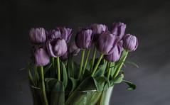 Purple Spring (tvdijk19) Tags: spring tulips nature stilllife fuji colors purple