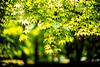 Sprout (moaan) Tags: kobe hyogo japan jp momiji japanesemaple green greenleaves outdoors light sunlight focusonforeground selectivefocus dof depthoffield bokeh bokehphotography leica leicaphotography leicamp type240 noctilux 50mm f10 leicanoctilux50mmf10 utata 2018