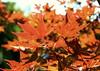 Momiji leaf in sunlight (imjackhandy) Tags: tennessee knoxville meadowlarklane momiji japanesemaple leaf sunlight