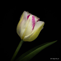 Multicolored tulip (Magda Banach) Tags: canon canon80d sigma150mmf28apomacrodghsm blackbackground colors drops flora flower macro nature plants