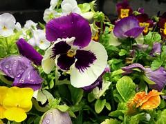 Pansies (Anna Gelashvili) Tags: pansies flower цветочки garden сад цветок flowers анютиныглазки plant soil почва ყვავილი ყვავილები leaf macro bright лист макрос яркий იასამნისფერიყვავილი