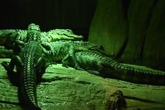 Alligators (Adventurer Dustin Holmes) Tags: 2018 wondersofwildlife reptile reptiles animalia animals chordata predators alligators sleeping staked carnivores carnivorous gators pile